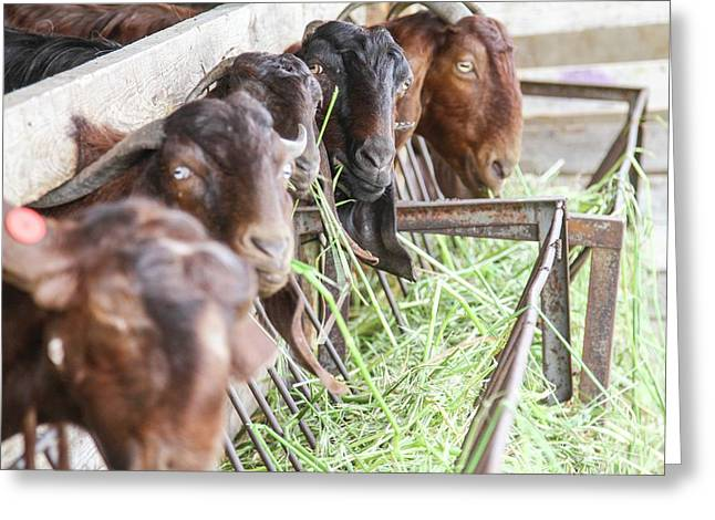 Goats Eat Hay Greeting Card by Photostock-israel