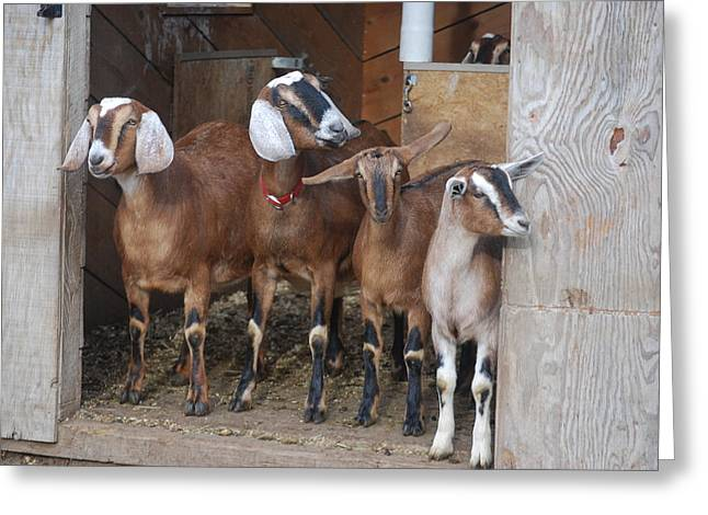 Old Maine Barns Greeting Cards - Goats in the Barn Greeting Card by Alan Holbrook