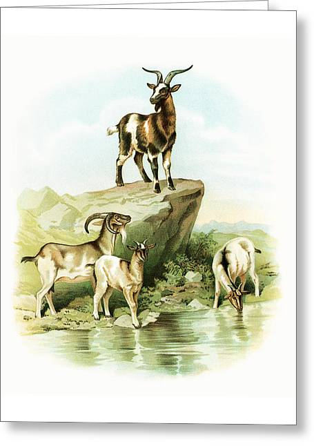 Goat Drawings Greeting Cards - Goats Greeting Card by Munir Alawi