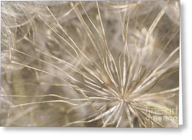 Neutral Background Greeting Cards - Goatsbeard Greeting Card by Anne Gilbert