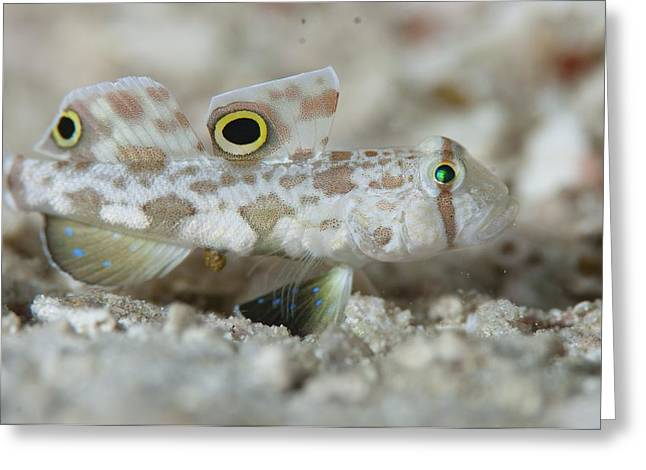 Goby Greeting Cards - Goby camouflaged on sand Greeting Card by Science Photo Library