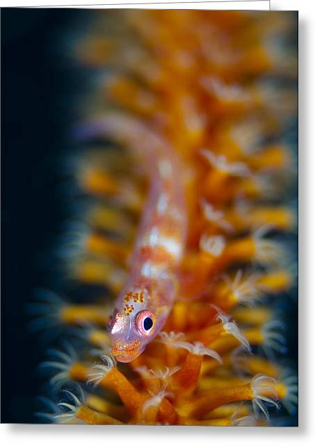 Goby Greeting Cards - Goby on whip cora Greeting Card by Science Photo Library