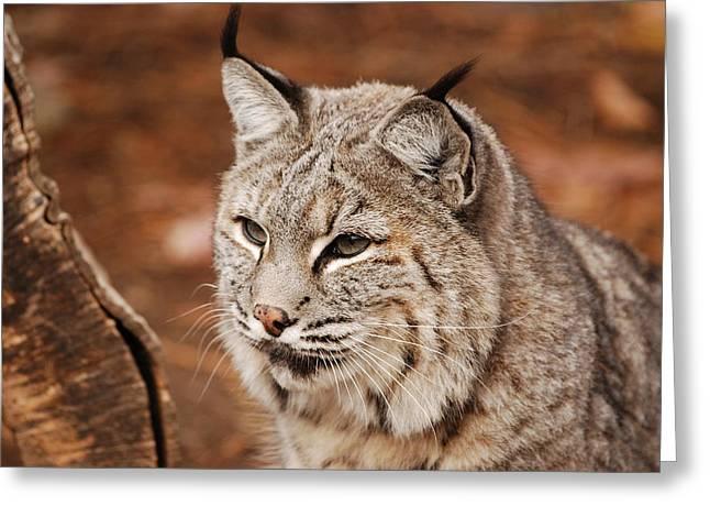 Bobcat Greeting Cards - God Im Handsome Greeting Card by Lori Tambakis