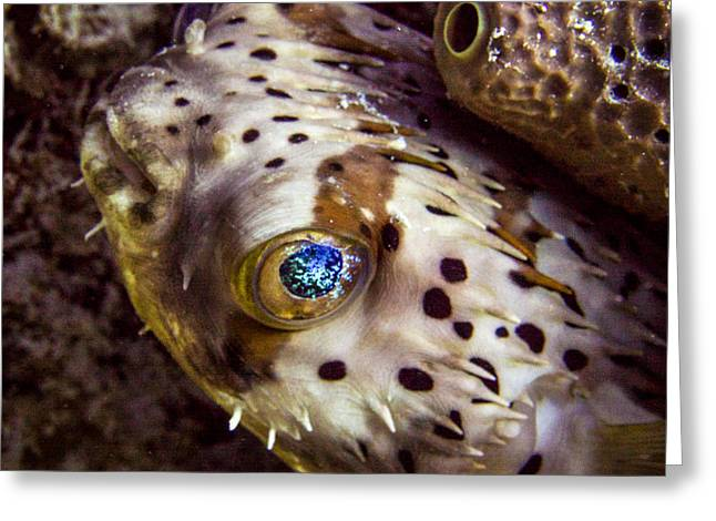 Balloonfish Greeting Cards - Goggly Eye Greeting Card by Jean Noren