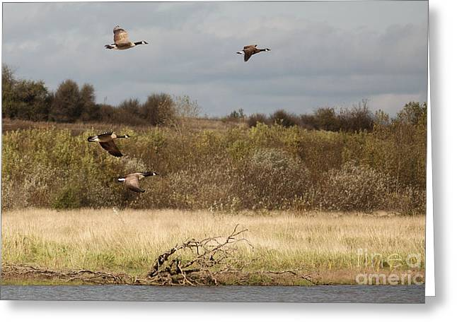 Canadian Geese Greeting Cards - Goin South Greeting Card by Rebecca Cozart