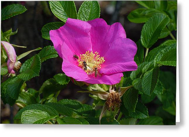 Rosa Acicularis Greeting Cards - Going for the Gold Greeting Card by Heather Coen