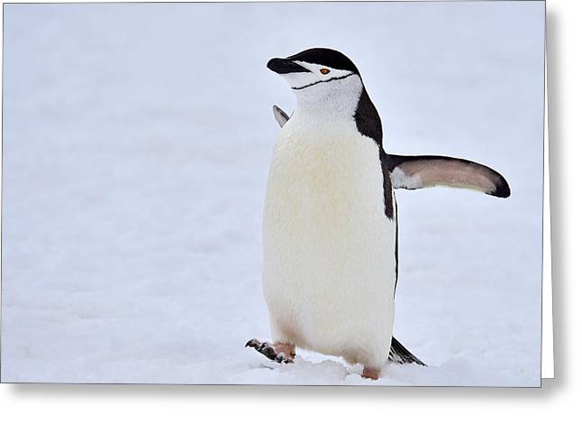Tuxedo Greeting Cards - Going Up Greeting Card by Tony Beck