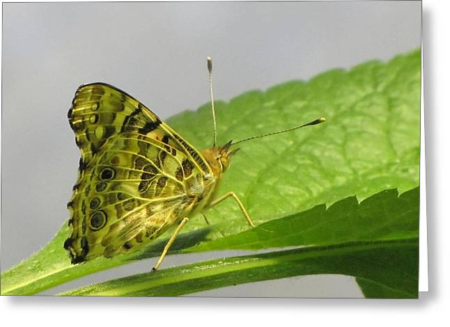 Checkerspot Greeting Cards - Gold and Green  Greeting Card by Jennifer Wheatley Wolf
