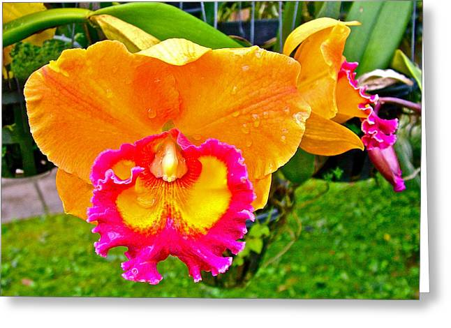 Golden Pink Orchid Greeting Cards - Gold and Pink Orchid at Maerim Orchid Farm in Chiang Mai-Thailan Greeting Card by Ruth Hager