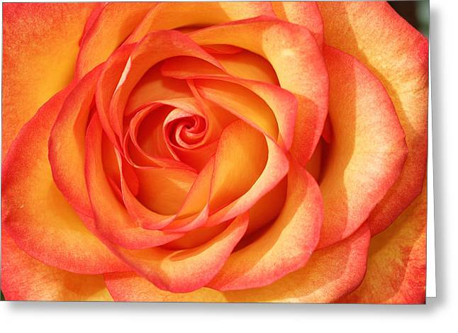 Close-up Greeting Cards - Gold and Red Greeting Card by Dawn Currie