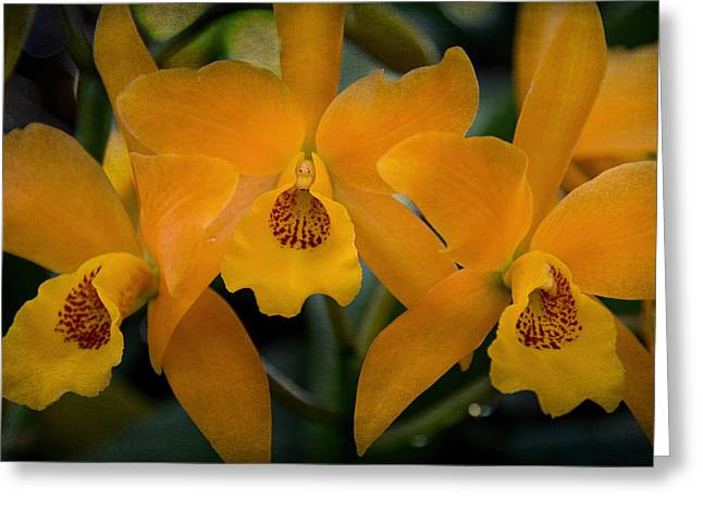Stigma Greeting Cards - Gold Digger Orchid Greeting Card by Jemmy Archer