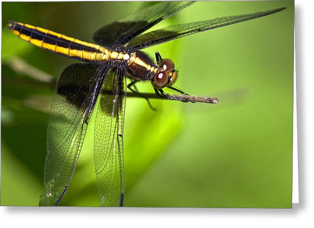 Dragonfly Art Greeting Cards - Gold Dragonfly Greeting Card by Christina Rollo