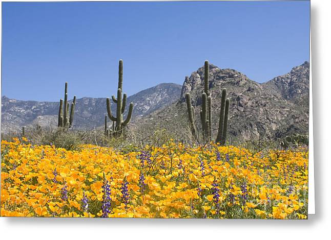 Catalina Mountains Greeting Cards - Gold poppies and lupines in the desert Greeting Card by Elvira Butler