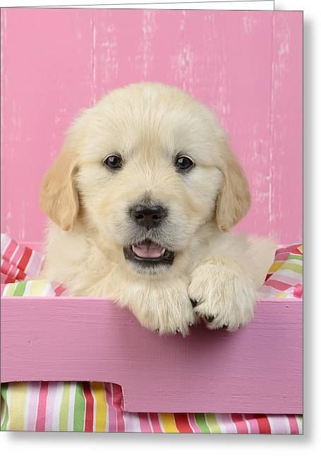 Sitting Photographs Greeting Cards - Gold Retriever Pink Background Greeting Card by Greg Cuddiford