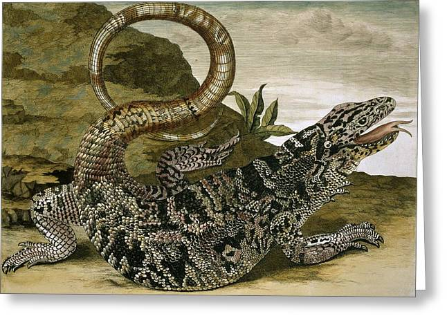 18th Century Greeting Cards - Gold tegu, 18th century Greeting Card by Science Photo Library