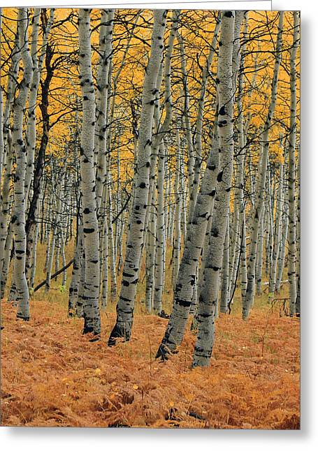 Nature Scene Greeting Cards - Golden Aspen Forest Greeting Card by Johnny Adolphson