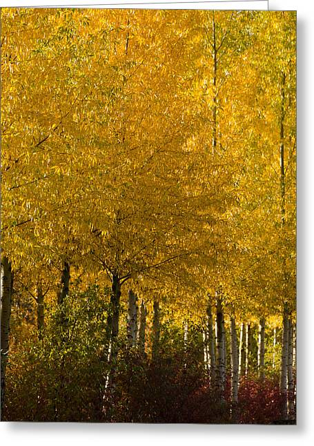 Aspens In Autumn Leaves Greeting Cards - Golden Aspens Greeting Card by Don Schwartz