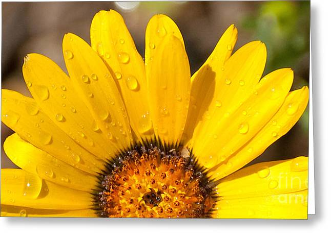 Aster Greeting Cards - Golden aster Greeting Card by Chris Thaxter