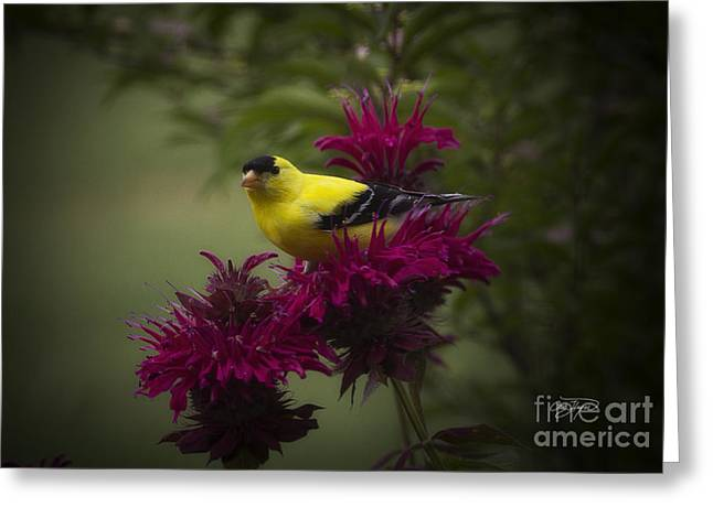 Cris Hayes Greeting Cards - Golden Bee Balm Greeting Card by Cris Hayes