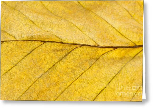 Golden Beech Leaf Greeting Card by Anne Gilbert