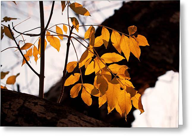 Sunlit Greeting Cards - Golden Beech Leaves Greeting Card by Rona Black