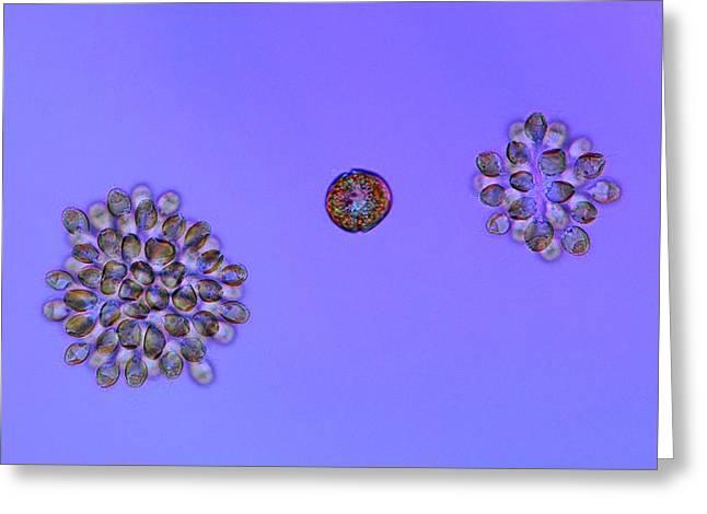 Golden-brown Algae And Dinoflagellate Greeting Card by Marek Mis