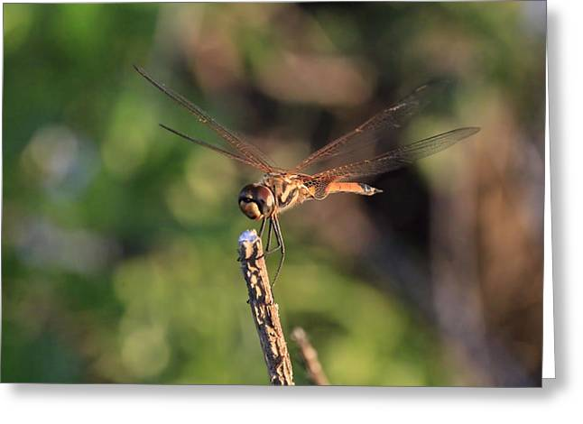 Dragon Flies Photographs Greeting Cards - Golden Brown V4 Greeting Card by Douglas Barnard