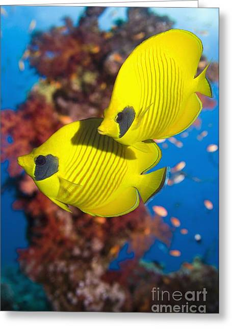 Chaetodon Semilarvatus Greeting Cards - Golden Butterflyfish Over A Reef Greeting Card by Georgette Douwma