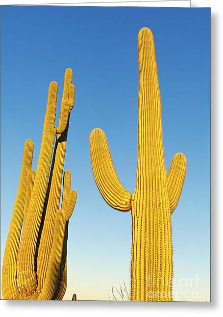 Arid Life Photographs Greeting Cards - Golden Cactus - Cactus Sunrise at Saguaro National Park in Arizona Greeting Card by Jamie Pham