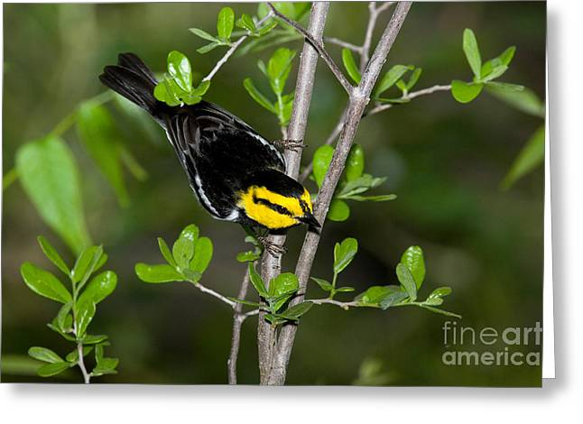 Warbler Greeting Cards - Golden Cheeked Warbler Greeting Card by Anthony Mercieca