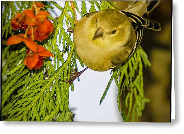 Finch Greeting Cards - Golden Christmas Finch Greeting Card by LeeAnn McLaneGoetz McLaneGoetzStudioLLCcom