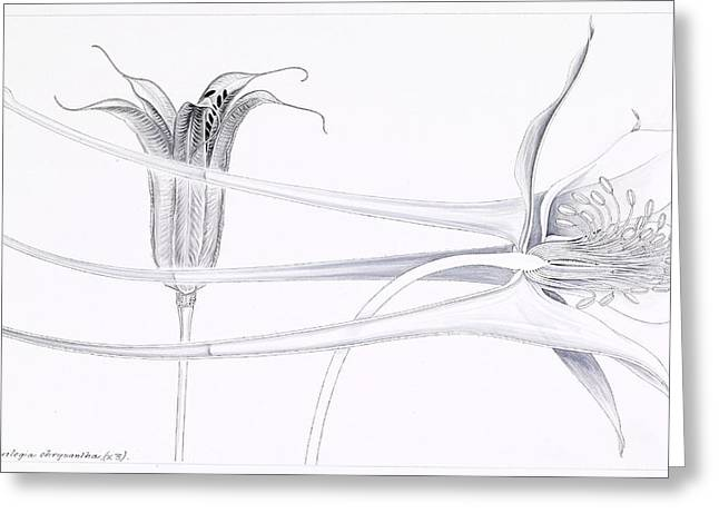 Ink Drawing Greeting Cards - Golden columbine (Aquilegia chrysantha) Greeting Card by Science Photo Library