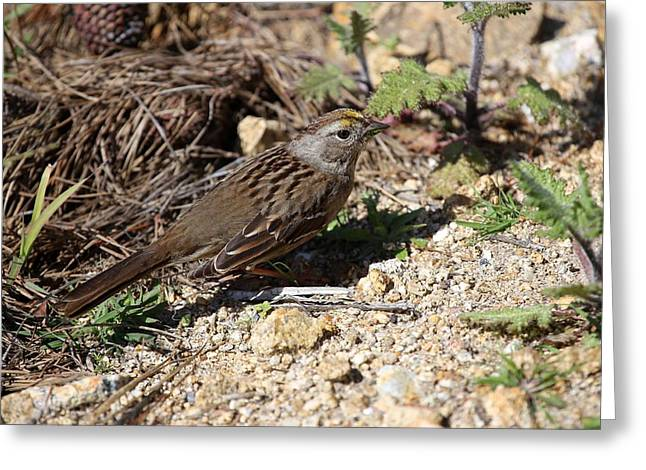 Point Lobos State Greeting Cards - Golden-crowned Sparrow 20130312 Greeting Card by Rob Bielawski