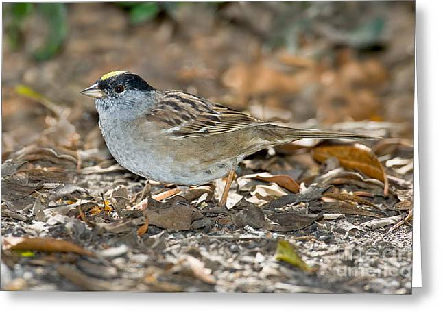 Sparrow Greeting Cards - Golden-crowned Sparrow Greeting Card by Anthony Mercieca