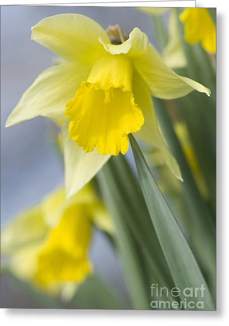 Mothersday Greeting Cards - Golden Daffodils Greeting Card by Anne Gilbert