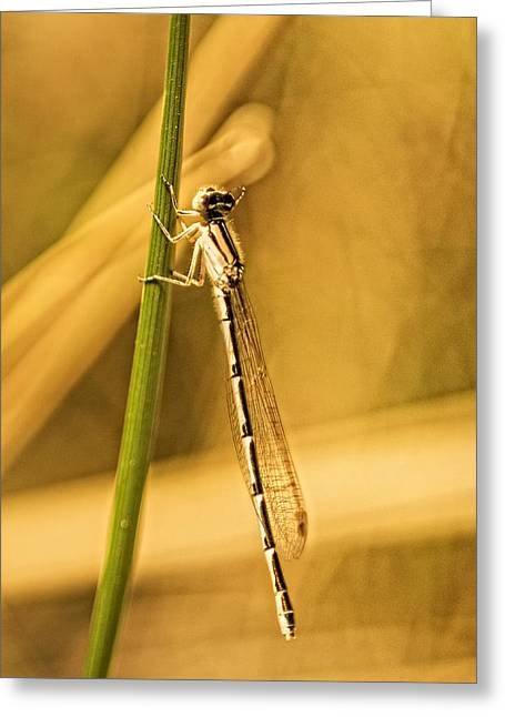 Damsel Fly Greeting Cards - Golden Damsel Greeting Card by Tracy Thomas