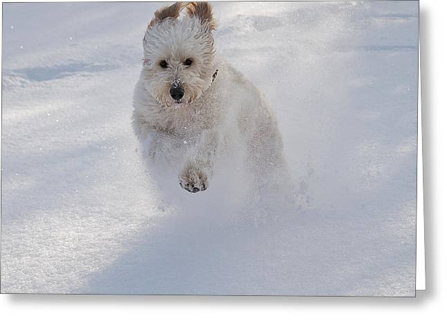 Dogs In Snow. Greeting Cards - Golden Doodle in Snow Greeting Card by Joseph Duba