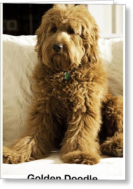 Puppies Greeting Cards - Golden Doodle Greeting Card by Madeline Ellis