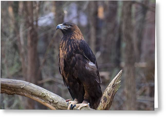 Golden Eagle 1 Greeting Card by Chris Flees