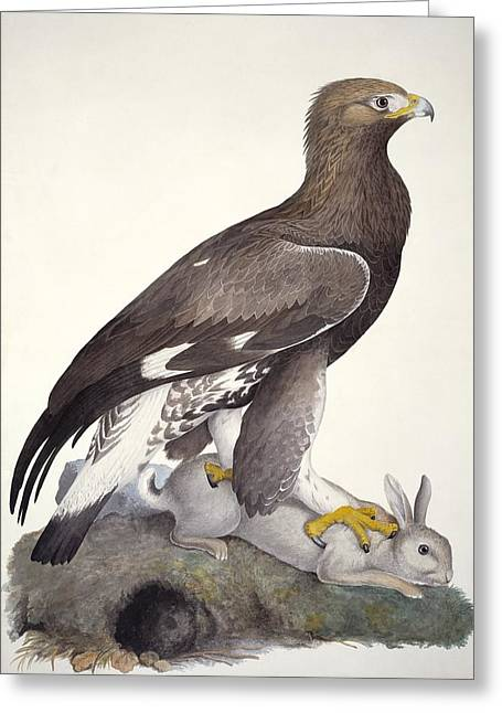 Drawing Of Eagle Greeting Cards - Golden eagle, 19th century artwork Greeting Card by Science Photo Library