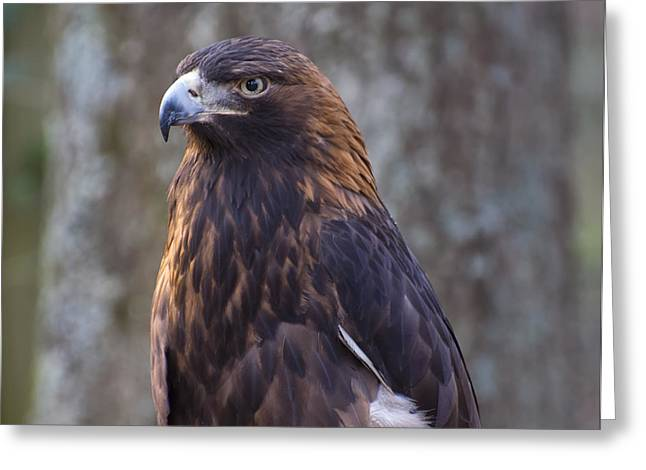 Golden Eagle 3 Greeting Card by Chris Flees