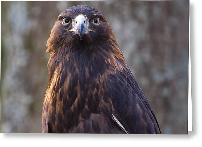 Eagle Images Greeting Cards - Golden eagle 4 Greeting Card by Chris Flees