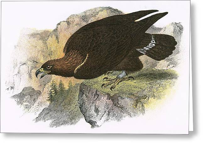 Golden Eagle Greeting Cards - Golden Eagle Greeting Card by English School