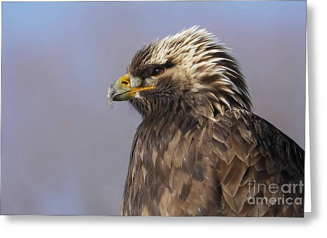 Golden Eagle Facing An Autumn Sunrise Greeting Card by Inspired Nature Photography Fine Art Photography