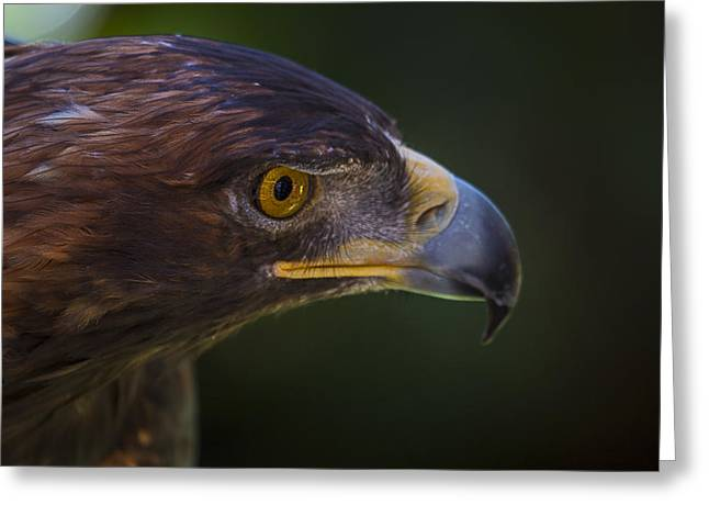 Golden Brown Greeting Cards - Golden Eagle Hunting For Prey Greeting Card by Garry Gay