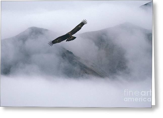 Eagle In Clouds Greeting Cards - Golden Eagle In Flight Greeting Card by Ron Sanford