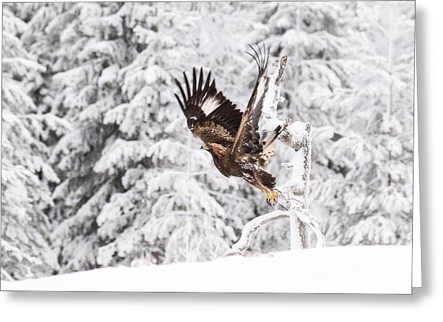 Eagle Pyrography Greeting Cards - Golden Eagle starts to fly Greeting Card by Marko Tuominiemi