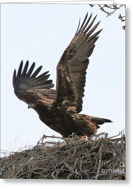 Greeting Card featuring the photograph Golden Eagle Takes Off by Bill Gabbert