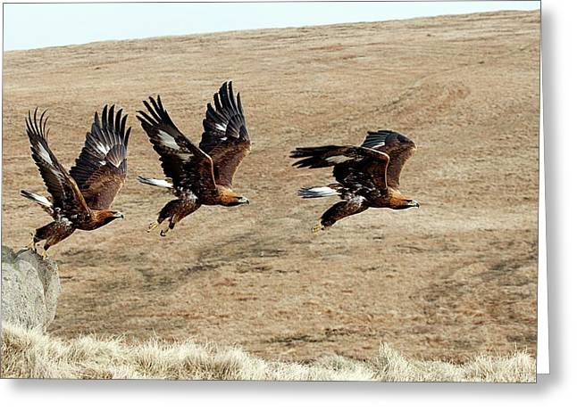 Golden Eagle Taking Off Greeting Card by Alex Hyde