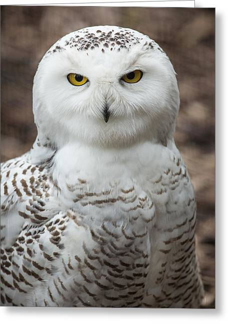 Snowy Owl Greeting Cards - Golden Eye Greeting Card by Dale Kincaid